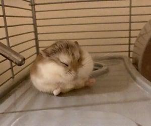 animal, hamster, and pet image