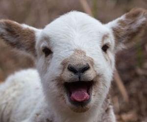 animal, lamb, and sheep image