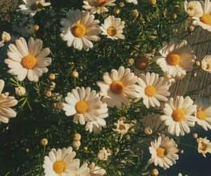 article, daisy, and flower image