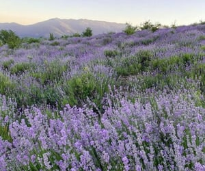 flowers, lavender, and aesthetic image