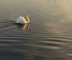 animal, Swan, and finland image
