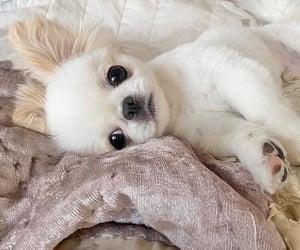 chihuahua and dog image