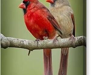 birds, cardinals, and ohio image