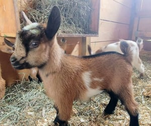 baby goat, baby goats, and canterlily image