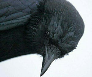 crow, bird, and black image