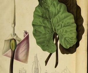 alocasia metallica and bhl:page=47163132 image