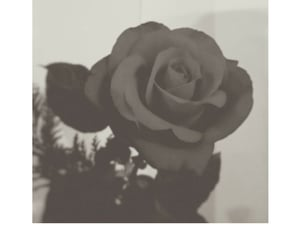 black and white, flor, and flower image