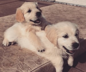 adorable, dog, and golden lab image