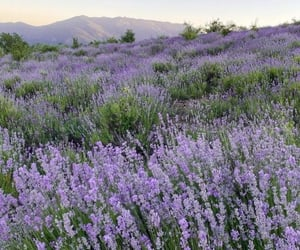 lavender, aesthetic, and flowers image
