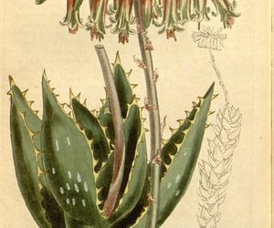pictorial works, geo:country=south africa, and botany image