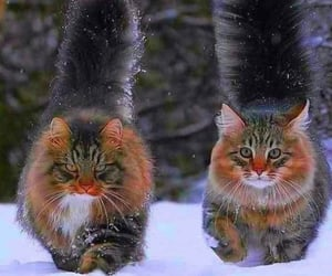 cats and maine coon image