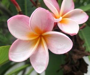 fairytale, frangipani, and plumeria image