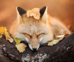 autumn, fall, and fox image