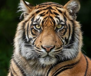 Animales, tigers, and tigres image