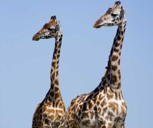 giraffe, wildlife, and pair image