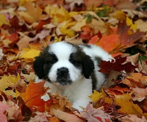 adorable, autumn, and dog image