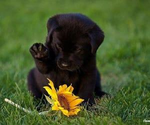 adorable, dog, and labrador image