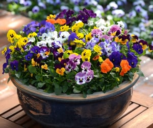 flower, flowers, and pansies image