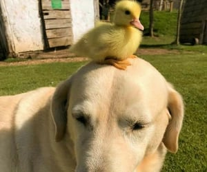 dog and ducklings image