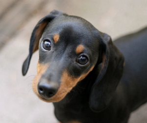 dachshund, puppy, and dog image