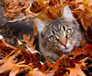 adorable, autumn, and kittens image