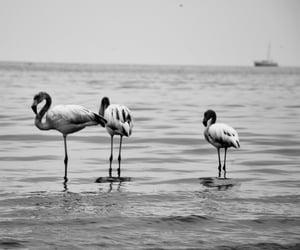 bird, flamingos, and reflection image