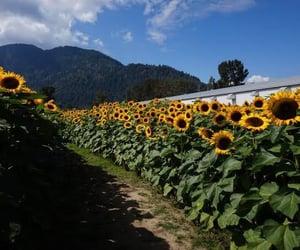 canada, sunflower, and chilliwack image