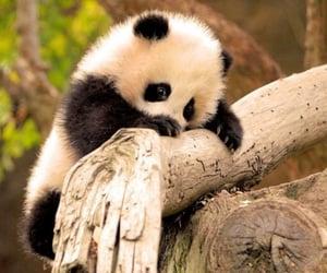 baby, panda, and perfect image