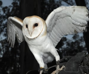 barn owl, on someone's glove, and unstopwatchable image