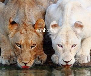 animals, tigers, and euphoria image