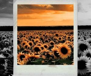 flower field, sunflower, and polariod image