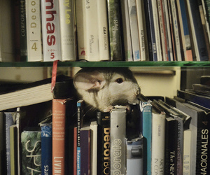 books and Chinchilla image