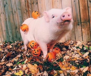 adorable, autumn, and pig image
