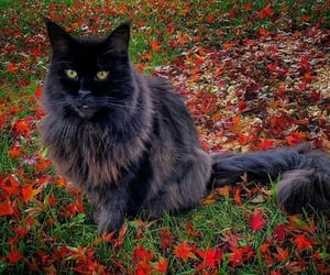 adorable, autumn, and black cat image