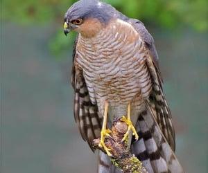 Sparrowhawk by Terry Hancock