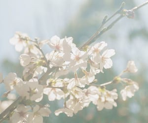 aesthetic, cherry blossom, and sakura image