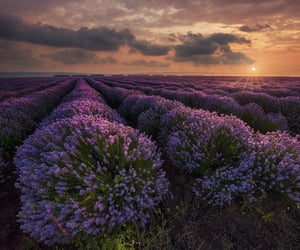 lavender field nature/sky/sea/landscape/mountains/ocean/river/lake/clouds/sunset/car/travel/flora/auestetic/animals/world/beauty/flowers/illustration