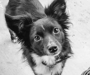 australian shepherd, dog, and puppy image