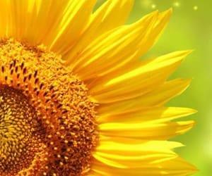 amarillo, girasol, and maravilla image