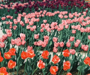red, tulip, and flowers image