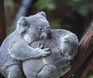 Koala, animal, and australia image