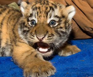 tiger, eyes, and scared image