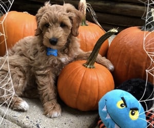 dog, Halloween, and pumpkins image