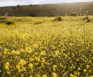field, sunshine, and canola image