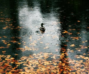 autumn, fall, and duck image