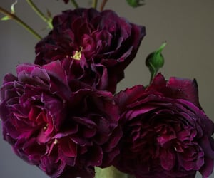 burgundy, flores, and flowers image