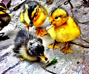 adorable, ducks, and photography image