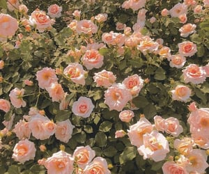 flowers, roses, and spring image