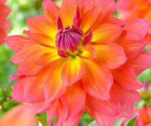flower, orange, and pink image