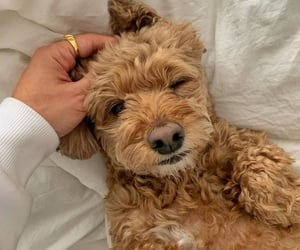 animals, curls, and puppy image